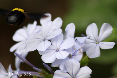 A bee pollinates the flowers - Sabi Sabi, South Africa ... March 15, 2010 ... Photo by Rob Page III