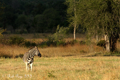 Zebra - Sabi Sabi, South Africa ... March 15, 2010 ... Photo by Rob Page III