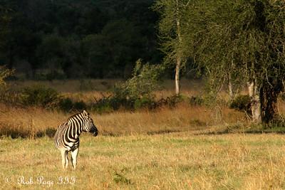 Zebra - Sabi Sabi, South Africa ... March 15, 2010 ... Photo by Rob Page III