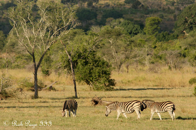 Zebras on the savanna - Sabi Sabi, South Africa ... March 15, 2010 ... Photo by Rob Page III