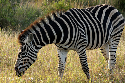 A zebra - Sabi Sabi, South Africa ... March 15, 2010 ... Photo by Rob Page III
