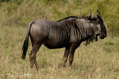 A wildebeest - Sabi Sabi, South Africa ... March 16, 2010 ... Photo by Rob Page III