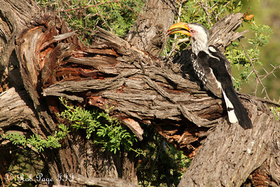 A yellow hornbill - Sabi Sabi, South Africa ... March 16, 2010 ... Photo by Rob Page III