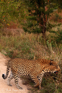A leopard - Sabi Sabi, South Africa ... March 16, 2010 ... Photo by Rob Page III