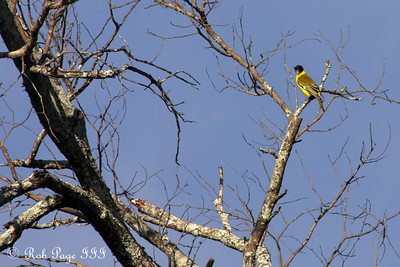 A yellow oriole - Sabi Sabi, South Africa ... March 16, 2010 ... Photo by Rob Page III