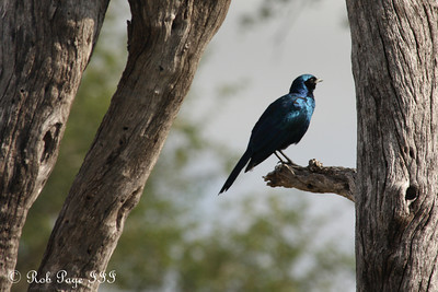 Burchell's gloss starling - Sabi Sabi, South Africa ... March 16, 2010 ... Photo by Rob Page III