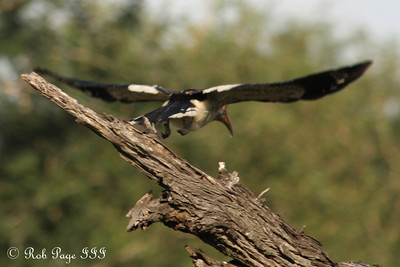 A yellow hornbill launches into the air - Sabi Sabi, South Africa ... March 16, 2010 ... Photo by Rob Page III