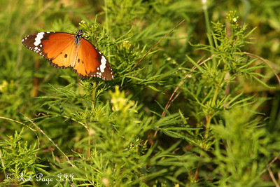 A butterfly - Sabi Sabi, South Africa ... March 16, 2010 ... Photo by Rob Page III