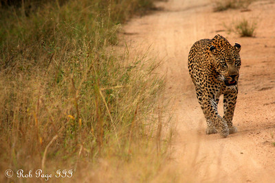 A leopard out for a morning stroll - Sabi Sabi, South Africa ... March 16, 2010 ... Photo by Rob Page III