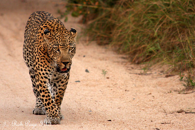 A leopard on a morning stroll - Sabi Sabi, South Africa ... March 16, 2010 ... Photo by Rob Page III