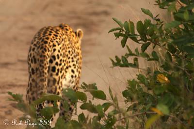 Goodbye - Sabi Sabi, South Africa ... March 16, 2010 ... Photo by Rob Page III