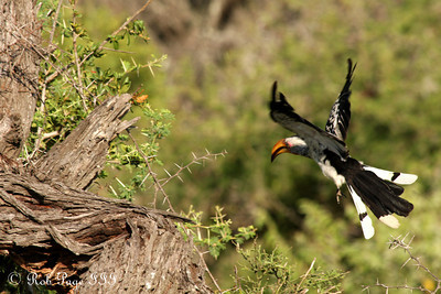 A yellow hornbill comes in for a landing. - Sabi Sabi, South Africa ... March 16, 2010 ... Photo by Rob Page III