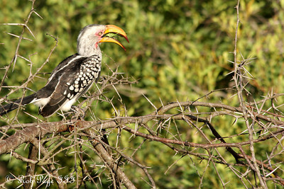 A yellow hornbill enjoying a nice grasshopper snack - Sabi Sabi, South Africa ... March 16, 2010 ... Photo by Rob Page III
