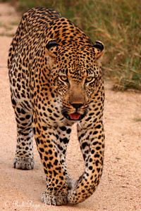 A leopard on a morning stroll and defending his territory - Sabi Sabi, South Africa ... March 16, 2010 ... Photo by Rob Page III