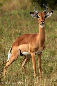 An impala - Sabi Sabi, South Africa ... March 16, 2010 ... Photo by Rob Page III