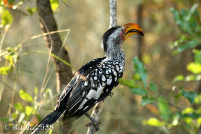 A yellow hornbill - Sabi Sabi, South Africa ... March 13, 2010 ... Photo by Rob Page III
