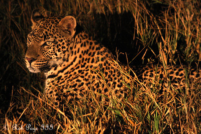 A leopard hunts at night - Sabi Sabi, South Africa ... March 14, 2010 ... Photo by Rob Page III