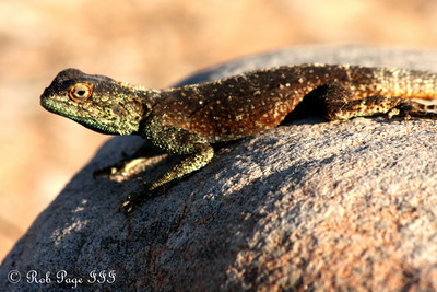 A lizard enjoys the warm and sunny day on top of Table Mountain - Cape Town, South Africa ... March 8, 2010 ... Photo by Rob Page III