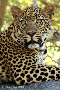 A leopard - Sabi Sabi, South Africa ... March 15, 2010 ... Photo by Rob Page III