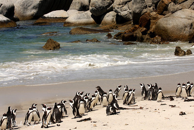 Penguins at Boulder Beach - Cape Town, South Africa ... March 12, 2010 ... Photo by Rob Page III