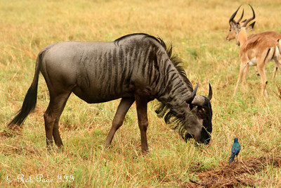 A wildebeest grazes among the impala - Sabi Sabi, South Africa ... March 14, 2010 ... Photo by Rob Page III