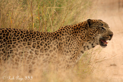 A rasping leopard - Sabi Sabi, South Africa ... March 16, 2010 ... Photo by Rob Page III