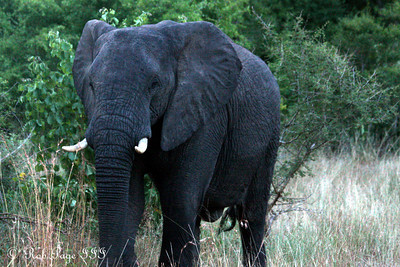 An elephant walks in the forest - Sabi Sabi, South Africa ... March 14, 2010 ... Photo by Rob Page III