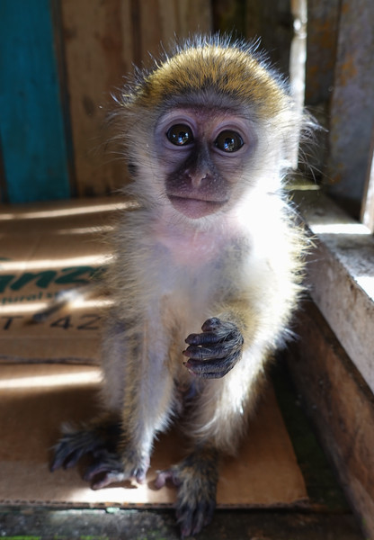 Cute pet baby Green Monkey at a Highland stop in Bridgetown, Barbados.