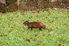 Agouti live on the Ile Royale prison colony island.