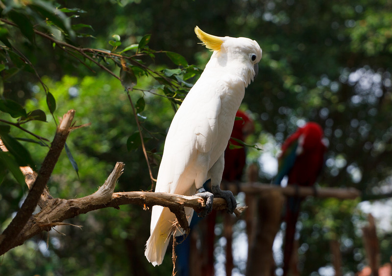 Cockatoo in the Butterfly Park on Sentosa Island