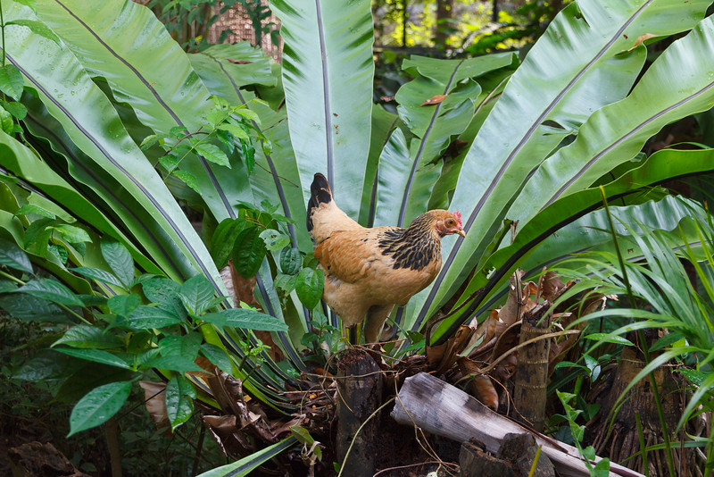 The rare Chicken Plant in the Sentosa Island Butterfly Park