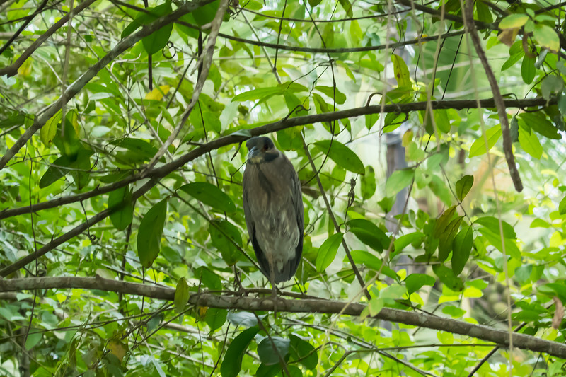 A Grey Heron in Tortuguero National Park.
