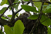 Three toed Sloth in a tree in the Tortuguero National Park.