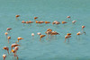 Pink Flamingoes in Curacao.