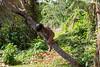 Embara native boy climbing a tree.