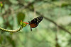 Butterfly having lunch in the Vergua Rainforest.
