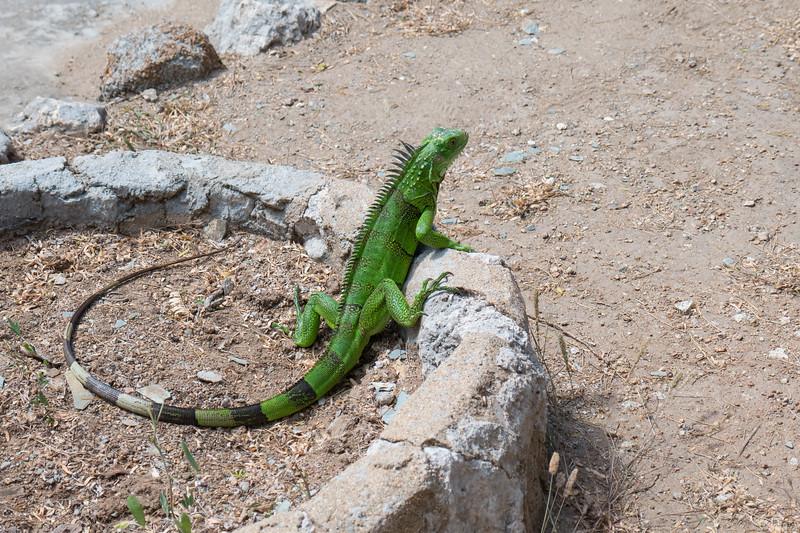 Iggy in Aruba