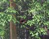 Brown Panda at the Chongqing Zoo