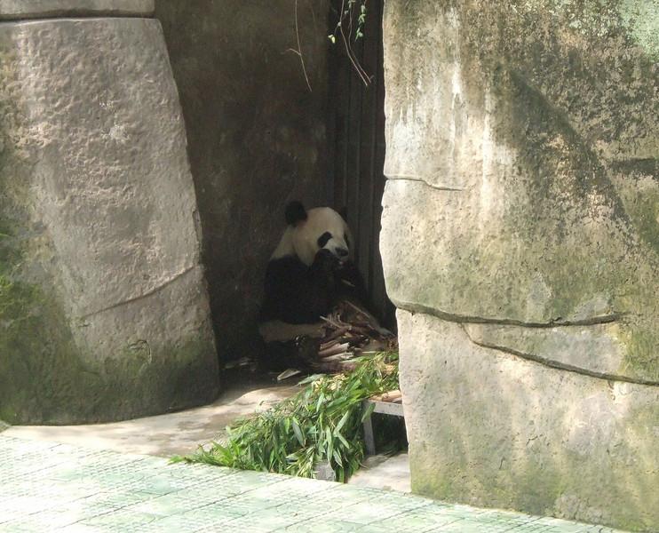Giant Panda at Chongqing Zoo