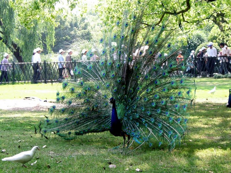 Peacock in West Lake Park - Hangzhou