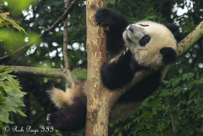 A giant panda at the Chengdu Research Base of Giant Panda Breeding - Chengdu, China ... October 5, 2012 ... Photo by Rob Page III