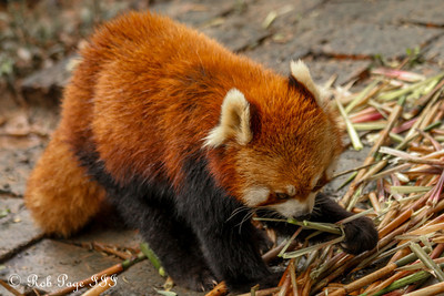 A red panda at the Chengdu Research Base of Giant Panda Breeding - Chengdu, China ... October 5, 2012 ... Photo by Rob Page III