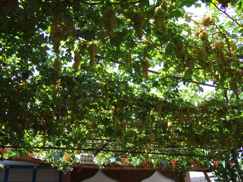 Grapes outside Karez Wells