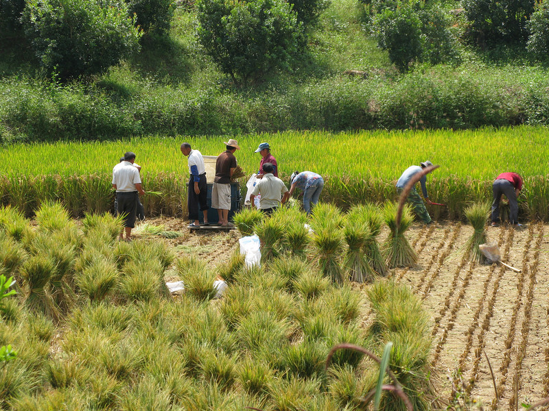 Rice farming inside the Stone Forest - Kunming