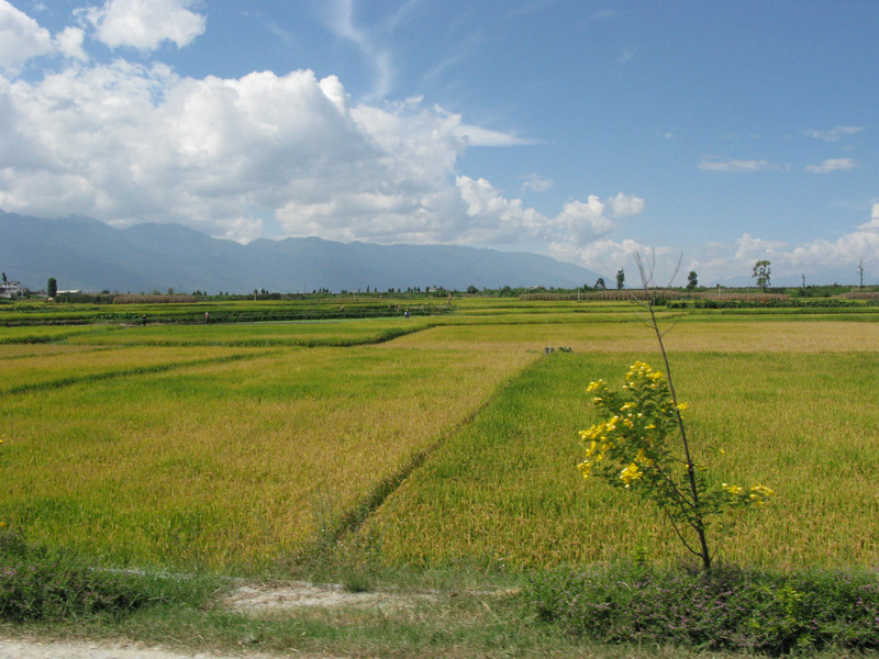 Rice Fields in Dali on the way to Erhai Lake