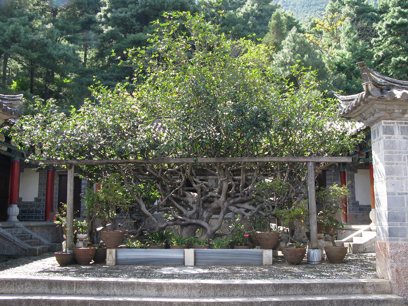 500 Year old Camelia Tree at the Yufeng Monastery - Lijiang