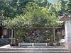 500 Year old Camelia Tree at the Yufeng Monastery - Lijiang
