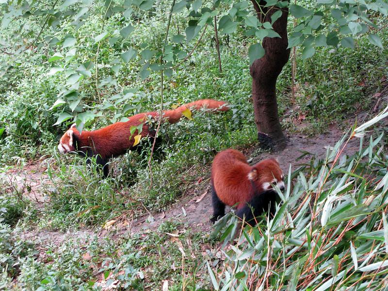 Red Pandas at the Chendu Facility