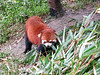 Red Panda at the Chendu Facility