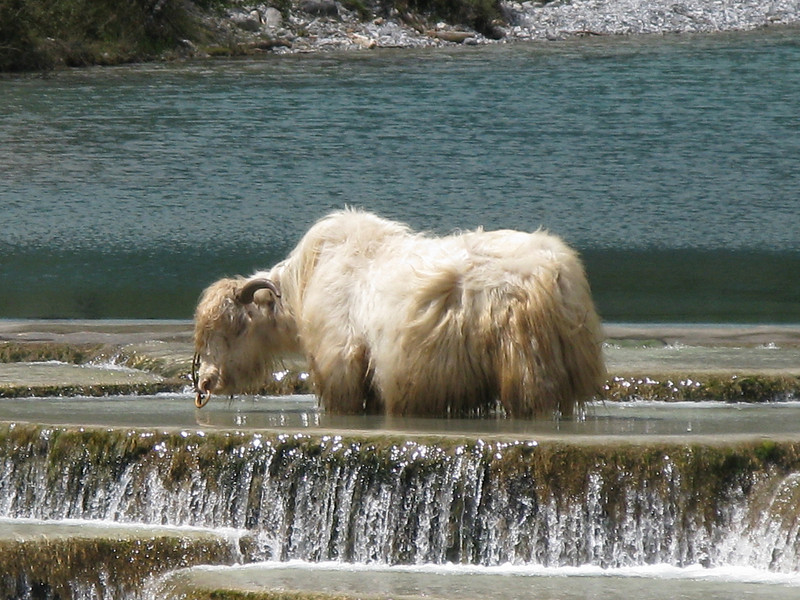 White Yak standing in the Pool of Blue Glacier Water